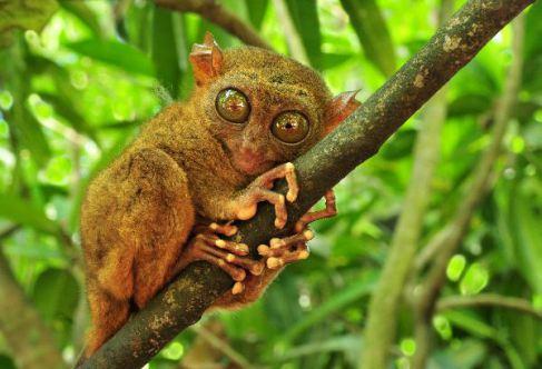 philippine-tarsier