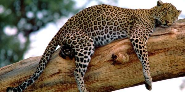 Long-Week,-Leopard,-Tanzania