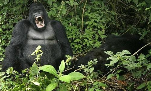 gorilla-yawn_1121417i