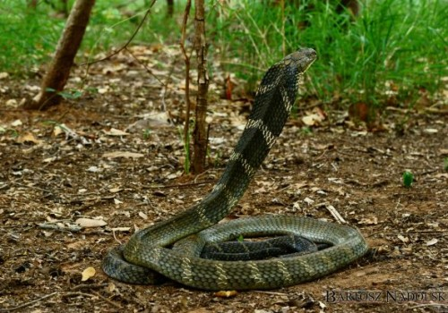 Kobra królewska  (Ophiophagus hannah)