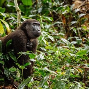 Kongo MK Tramping