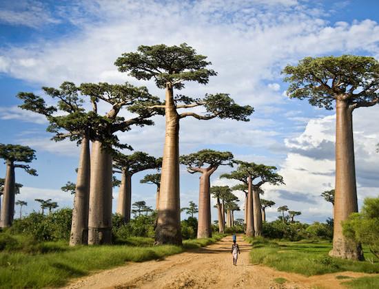 Madagaskar baobaby