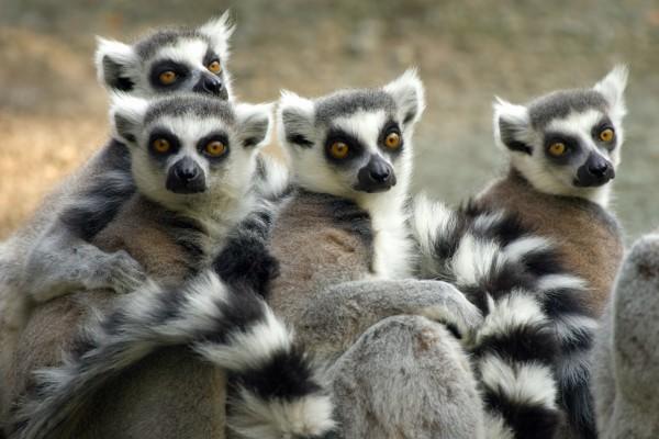 stado lemurów