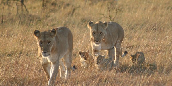 IMG_3004-Morning-Game-Drive-from-Porini-Lion