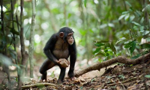 WKS szympans