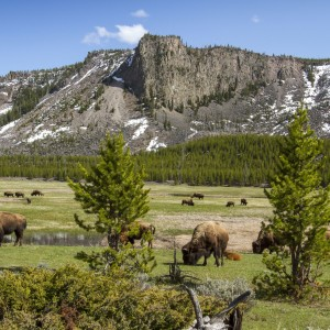 american-bisons-grazing-on-field-by-mountains-at-yellowstone-national-park-965014404-5c2bc8aac9e77c000110430a